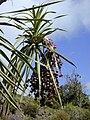 Starr 030222-0030 Pleomele auwahiensis.jpg