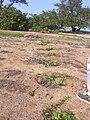 Starr 040117-0067 Jacquemontia ovalifolia subsp. sandwicensis.jpg