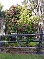 Starr 040220-0330 Camellia japonica.jpg