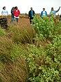 Starr 041228-2401 Chenopodium oahuense.jpg