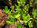 Starr 041229-2660 Alyxia oliviformis.jpg