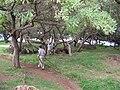 Starr 050119-3111 Tournefortia argentea.jpg