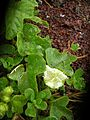 Starr 050405-5728 Passiflora foetida.jpg