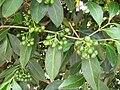 Starr 050407-6250 Psydrax odorata.jpg