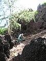 Starr 060422-7836 Casuarina equisetifolia.jpg