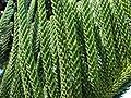 Starr 061206-1998 Araucaria columnaris.jpg