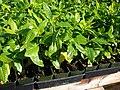 Starr 061222-2600 Gardenia brighamii.jpg