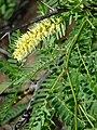 Starr 070404-6611 Prosopis juliflora.jpg