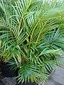 Starr 080103-1131 Chrysalidocarpus lutescens.jpg