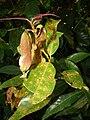 Starr 080304-3173 Syzygium jambos.jpg
