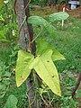 Starr 080610-8279 Vigna unguiculata subsp. sesquipedalis.jpg