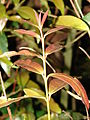 Starr 090213-2409 Syzygium jambos.jpg