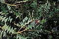 Starr 980528-4127 Banksia sp..jpg