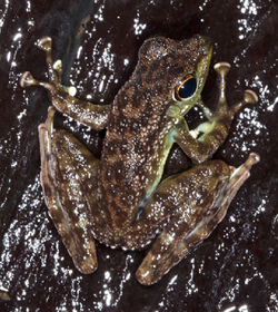 Staurois guttatus male - journal.pone.0073810.g001B.png