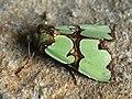 Staurophora celsia - Совка роскошная (41087856282).jpg