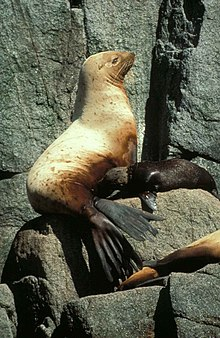 Steller sea lion female and pup eumetopias jubatus.jpg