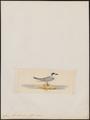Sterna havellii - 1820-1860 - Print - Iconographia Zoologica - Special Collections University of Amsterdam - UBA01 IZ17900316.tif