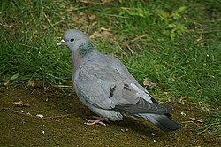 Stock Dove (Columba oenas), Craigleith, Edinburgh - geograph.org.uk - 1229775.jpg