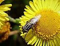 Stomorhina lunata, Locust Blowfly. Calliphoridae (36143495294).jpg