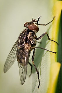 Stable fly species of insect