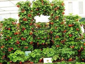 Strawberry - Strawberries on display at Chelsea Flower Show, 2009