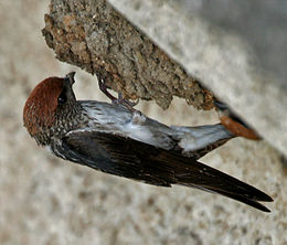 Streaked-throated Swallow (Hirundo fluvicola) building nest W2 IMG 2372.jpg