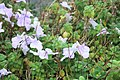 Streptocarpus saxorum in bloom.jpg