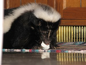 Pet skunk eating marshmallow
