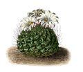 Strombocactus disciformis BlKakteenT39a.jpg