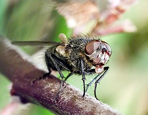 Escape response - Recent research suggests that the escape response in Musca domestica may be controlled by the compound eyes.