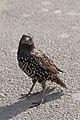 Sturnus vulgaris (Common Starling) - 20150801 17h09 (10639).jpg