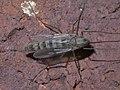 Subgenus Chironomus P1370090a.jpg