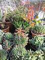 Succulents (4578496932).jpg