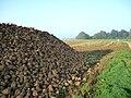 Sugar beets Morsan2.jpg