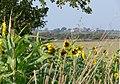 Sunflowers along the Sewstern Drift - geograph.org.uk - 1031639.jpg