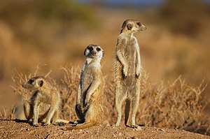 Tripod stance - Meerkats adopt a range of postures while watching for predators.  One individual (left) has 4 limbs in contact with the ground, another (middle) has only 2 limbs and the tail in contact, and another (right) is standing erect on its 2 hind legs and supported by the tail.