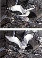 Swallow-tail Gulls (Creagrus furcatus) mating -Espanola -Punta Suarez.jpg
