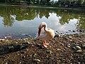 Swan in jaulakhal zoo.jpg