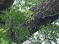 Swietenia mahagoni (1126097389).jpg