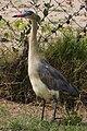 Syrigma sibilatrix -Punta del Este, Uruguay-8.jpg