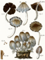 Tab17-Agaricus fuscescens Schaeff.png
