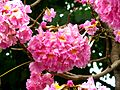 Tabebuia heterophylla3287.jpg