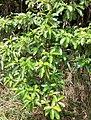 Tabernaemontana citrifolia ( Apocynaceae ).jpg