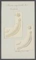 Taenia crassicollis - - Print - Iconographia Zoologica - Special Collections University of Amsterdam - UBAINV0274 105 19 0014.tif