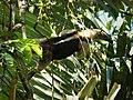 Tamandur Anteater. Tamandua mexicana - Flickr - gailhampshire (1).jpg