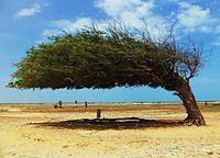 Tamarindo, a árvore penteada do Piauí.JPG