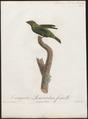 Tangara gyrola - 1805 - Print - Iconographia Zoologica - Special Collections University of Amsterdam - UBA01 IZ15900323.tif