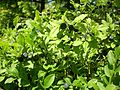 Tasty bilberries - panoramio.jpg
