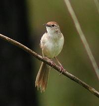 Tawny Grassbird Samcem