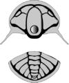 Tchernyshevioides drawing gray.png
